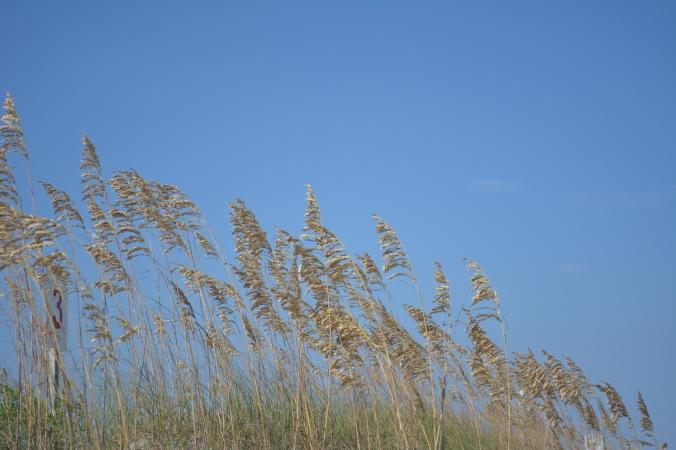 carolina beach sea oats