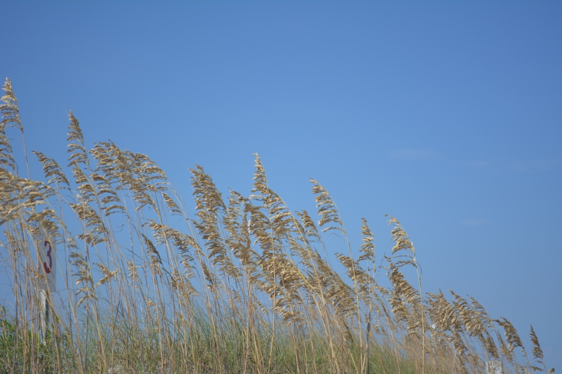 carolina beach sea oats