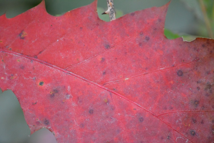 This is what I consider to be a RED leaf