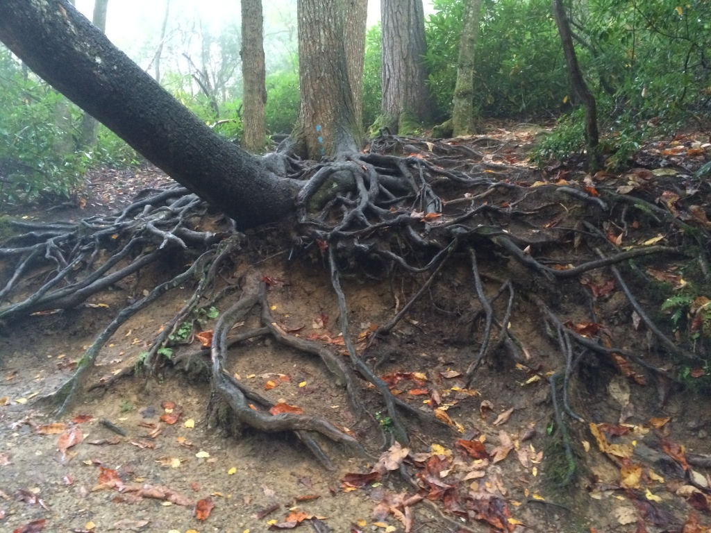 Gigantic tree root