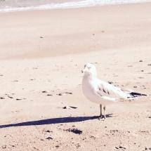 smaller seagull