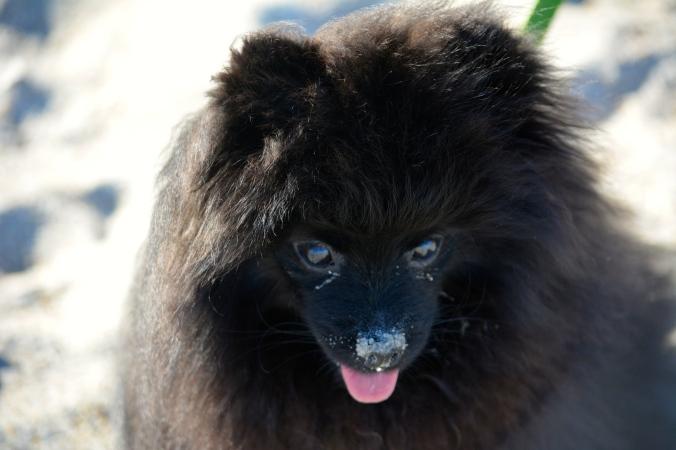 Cole, Pomeranian