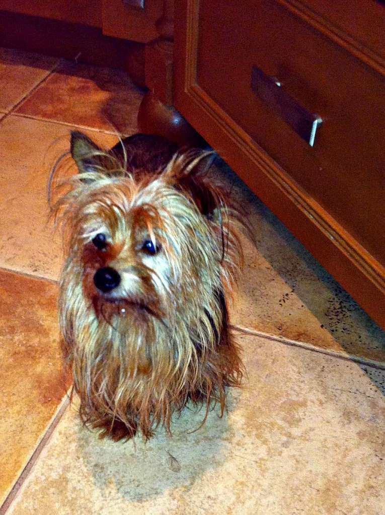 Grace, Yorkshire Terrier